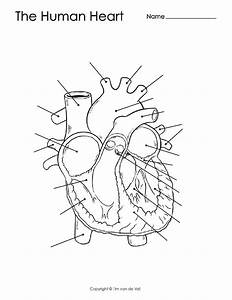 Unlabeled Heart Diagram Worksheet