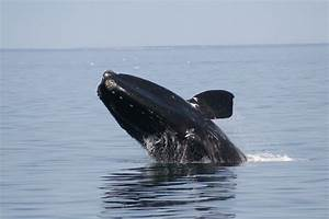 Saving The Endangered North Atlantic Right Whale