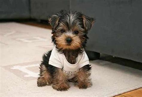 miniature breeds that dont shed petsguide author at pets guide