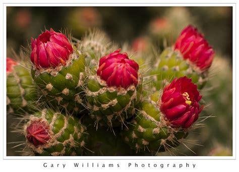 kaktues cicegi resimleri