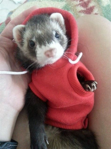 are ferrets pets 25 best ideas about ferrets on pinterest ferret pet ferret and ferret cage