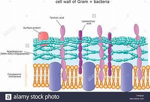 Structure Of The Cell Wall Of A Gram Positive Bacterium