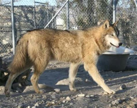 Wolf Mountain Sanctuary (lucerne Valley, Ca) Award