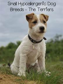 small hypoallergenic dog breeds terriers dogvills