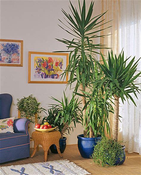 yucca plante interieur ou exterieur comment bien rempoter un yucca