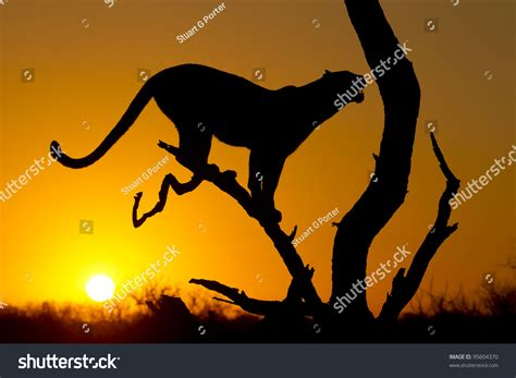 Silhouette Female African Leopard Panthera Pardus Stock ...