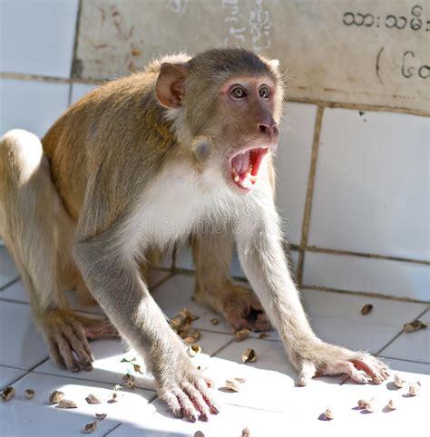 screaming monkey royalty  stock photography image