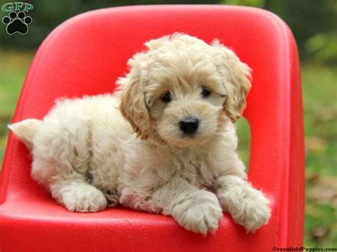 Do American Cockapoos Shed by Cookie Cockapoo Puppy For Sale From Morgantown Pa