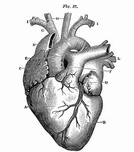 6 Anatomical Heart Pictures