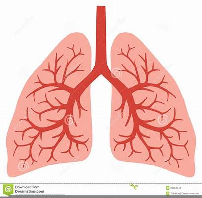 Lungs Human Clipart Anatomy Bronchi Vector Lung