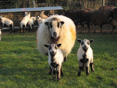 native pedigree sheep  south yeo farm west devon