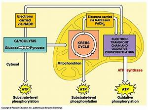 Enzymes In Chemical Reactions Of Glycolysis Are Located