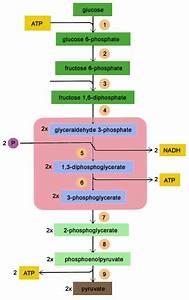 Biolearn  Glycolysis Broken Down