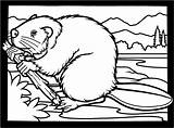 Coloring Beaver Pages Beavers Clipart Colouring Dam Printable Canadian Building Animals Drawing Wood Cute Wildlife Bever Clip Chewing Funny Kleurplaat sketch template