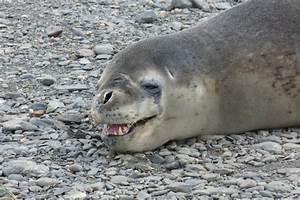 Leopard Seals Teeth
