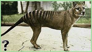What If The Tasmanian Tiger Didn't Go Extinct? - YouTube