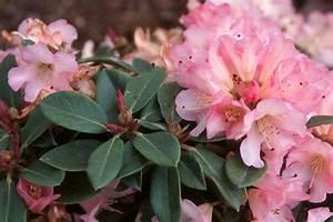 Rhododendron  U0026 39 Bruce Brechtbill U0026 39