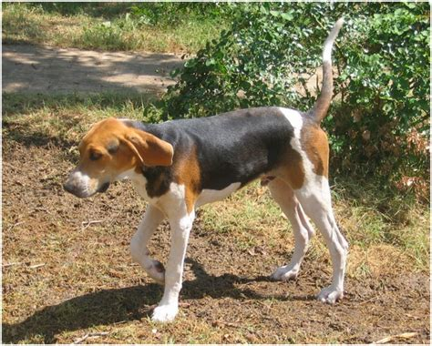 treeing walker coonhound facts pictures puppies