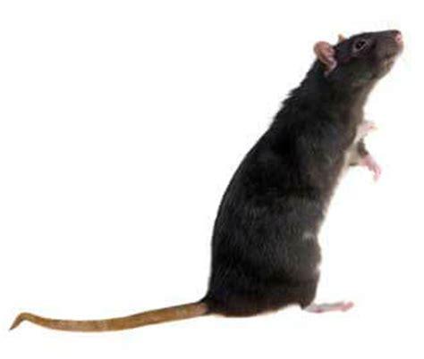 Keutels rat