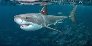 Hunting Great White Sharks Could Motor But Prefer To Mosey
