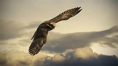 4k Hawk Sky Fly Clouds Gray Animals