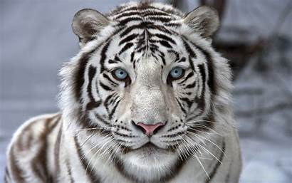 Tiger Tigers Wide Wallpapers Golden Amazing Tigre