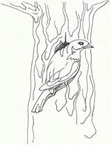 Coloring Pages Cardinal Bluebird Bird Printable Comments Mountain Nouveau Coloringhome sketch template