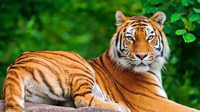 Animal Tiger Animals Wild Tigers Nature Pixelstalk