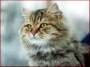 siberian cats a v kolesnikov siberian cat how the isolation is