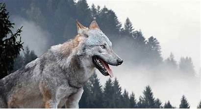 Wolf Female Names Wolves Dogsnet Strong Striking
