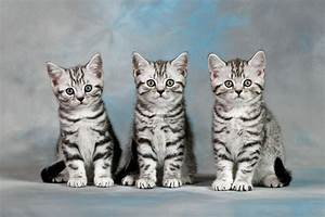 CAT 03 KH0091 01 - Three British Shorthair Silver Tabby ...