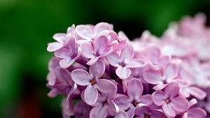 Light Purple Flowers 1080p Wallpapers | HD Wallpapers | ID ...