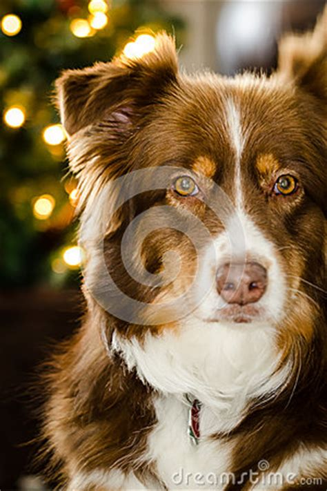 cute brown australian shepherd stock image image