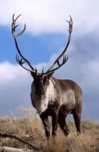 Arctic Tundra Caribou