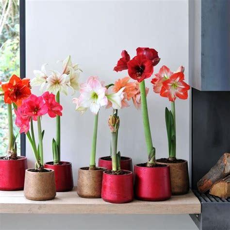 amaryllis zum blühen bringen amaryllis pflege blume zum bl 252 hen bringen pflanzen amaryllis garten pflanzen und pflanzen