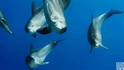 Dolphin Gifs Bbc Dolphins Bottlenose Planet Under