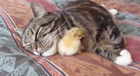 cat tolerates baby chick    grows  chicken
