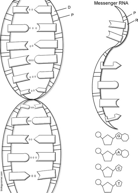 dna replication coloring worksheet dna the helix coloring worksheet