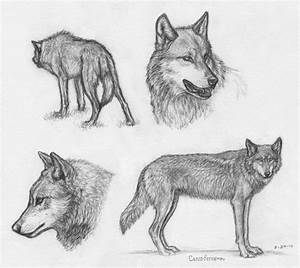 IWC Wolf sketches by Canis-ferox on DeviantArt