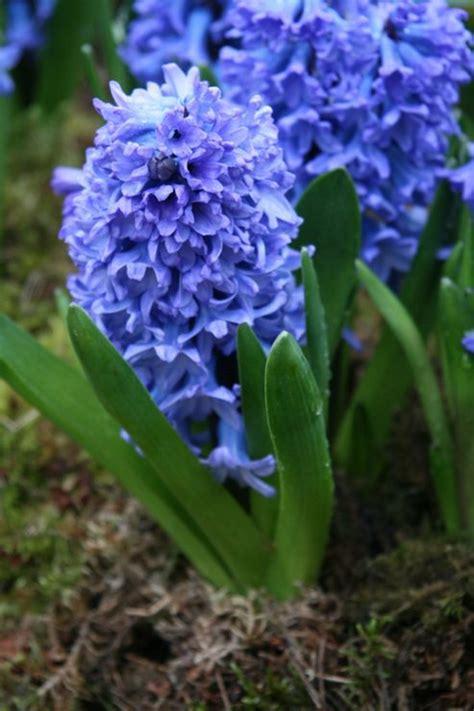 buy garden hyacinth bulbs hyacinthus orientalis delft