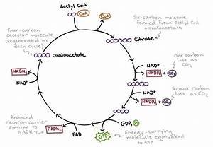 Metabolism  U2013 Biochemzone