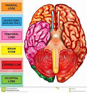 Human Brain Underside View Stock Images