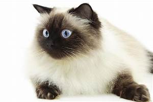 9 Utterly Gorgeous Cat Breeds That Have Ocean Blue Eyes