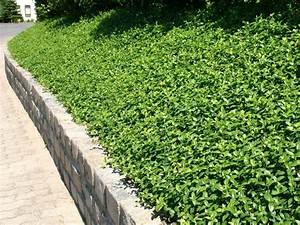 Schnell Wachsender Sichtschutz Immergrün : schnell wachsende bodendecker schnell wachsende ~ Michelbontemps.com Haus und Dekorationen
