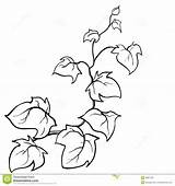 Vines Vine Coloring Ivy Pages Drawing Plant Drawn Leaf Vector Template Clipart Hand Sketch Jungle Pattern Creeping Pencil Woody Pumpkin sketch template