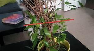 Comment Tailler Un Ficus : sos ficus en d tresse courrier des lecteurs ~ Melissatoandfro.com Idées de Décoration
