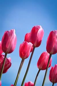 Fleur De Lys Plante : images gratuites fleur p tale tulipe rouge flore ~ Melissatoandfro.com Idées de Décoration