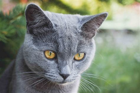 Blue Cats - russian blue cat 183 free stock photo