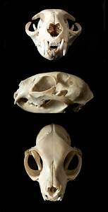 Cat Skull By Nikkiburr On Deviantart