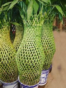 Vida a lo Verde*Living in Green*: Consejos para cuidar sus plantas de lucky bamboo (How to take